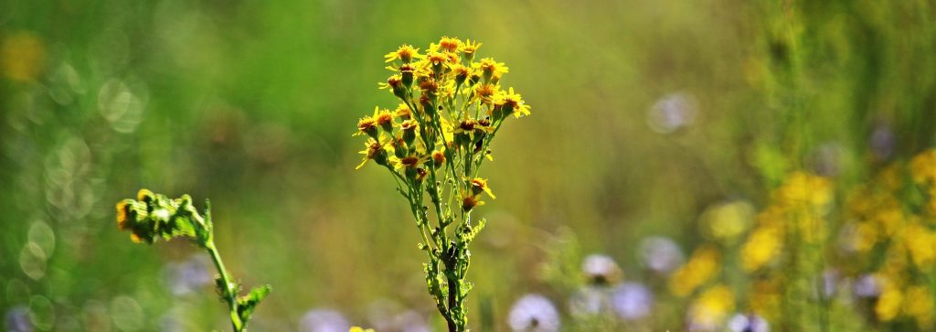 Ragwort poisoning in horses banner