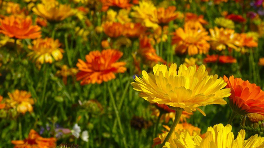Calendula for horses - marigold