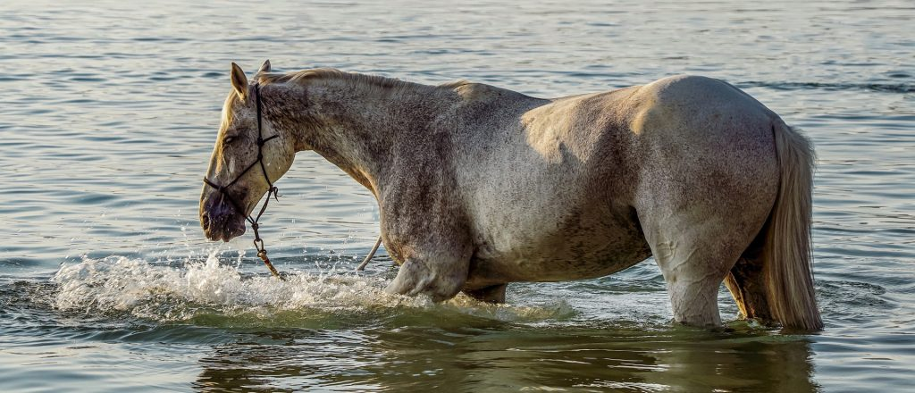 equine hydrotherapy horse swimming